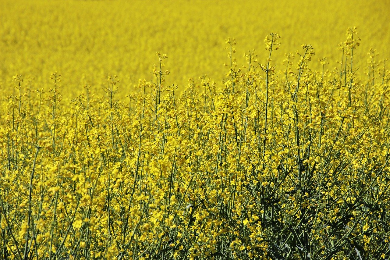 Skuteczne środki ochrony kukurydzy przed insektami i chwastami
