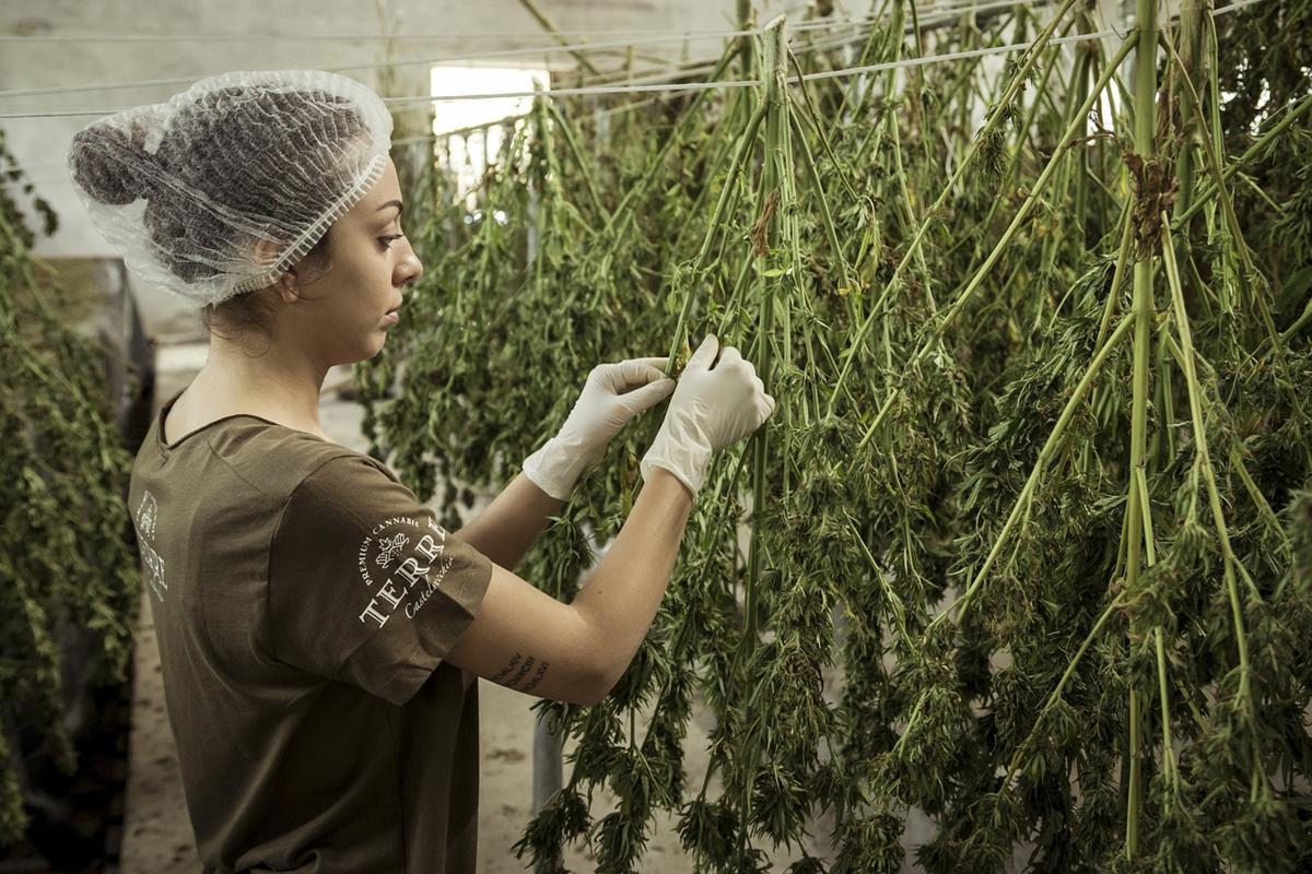 Sklepy ze sprzętem oraz akcesoriami pod uprawy marihuany